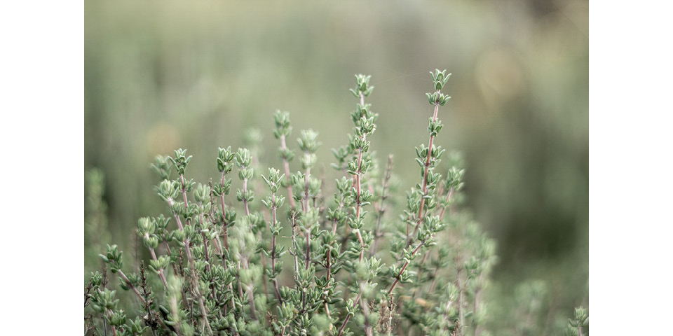 DrEberhardt-Aromatherapie-blog-thymian