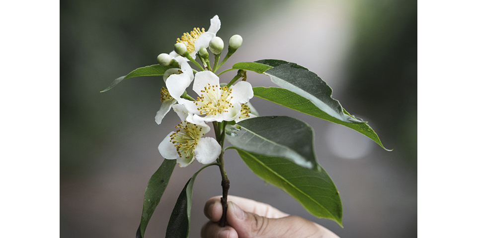 DrEberhardt-Aromatherapie-Blog-ravintsara-hoch-jpegmini